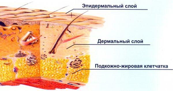 Cтроениt кожи