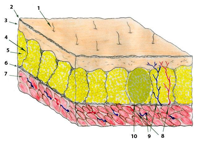 Кожа и подкожная жировая клетчатка в норме