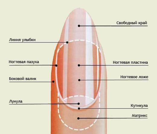Строение ногтевой пластины