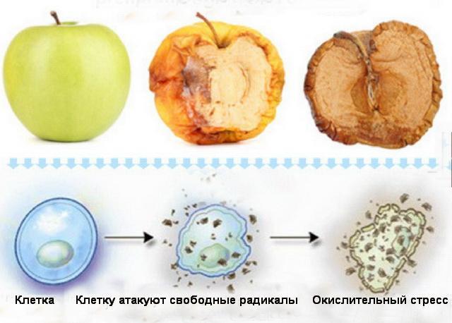 Схема окислительного стресса человеской клетки