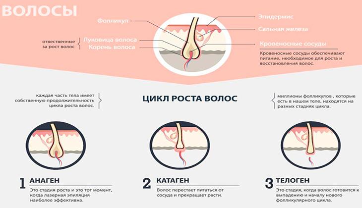 Цикл роста волос на теле